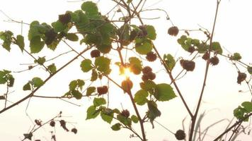 Morning Sun Through Leaves