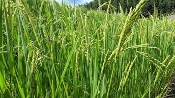 Rice Field Swaying with The Wind video