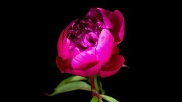 hermosa flor de peonía rosa floreciendo