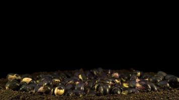 germinação de feijão em fundo preto