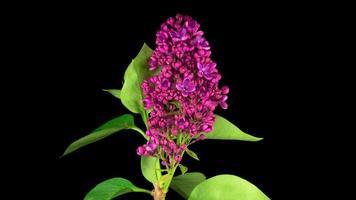 öffnende violette Blume von Flieder