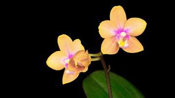 flor de naranja orquídea phalaenopsis