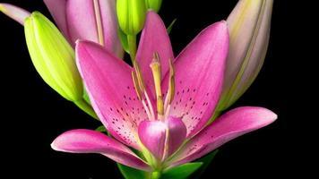 lapso de tempo de lindas flores de lírio rosa