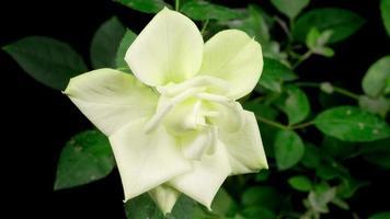 lapso de tiempo de crecimiento y apertura de flor rosa blanca