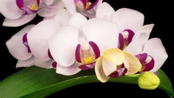 flor blanca floreciente de la orquídea phalaenopsis.