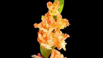 Apertura de flor de gladiolo naranja