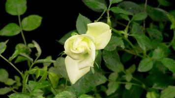 Zeitraffer der Öffnung der weißen Rosenblüte