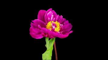 lapso de tiempo de la hermosa flor de peonía rosa floreciendo