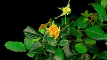 lapso de tiempo de apertura flor rosa amarilla