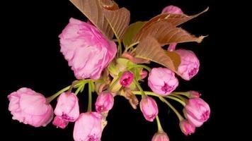 Laps de temps du beau bouquet de fleurs de sakura rose d'ouverture