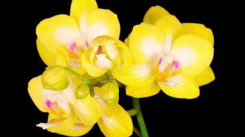 flor phalaenopsis de orquídea amarela florescendo
