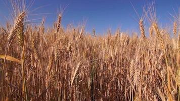 campo de trigo dourado balançando