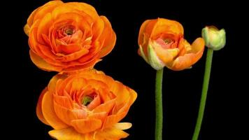 flor laranja ranunculus asiaticus abrindo dramaticamente video