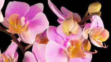 flor de orquídea rosa florescendo phalaenopsis