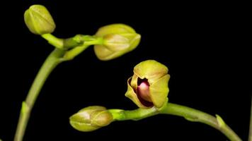 flor de orquídea roja phalaenopsis