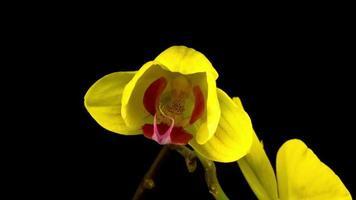 flor de orquídea amarela phalaenopsis