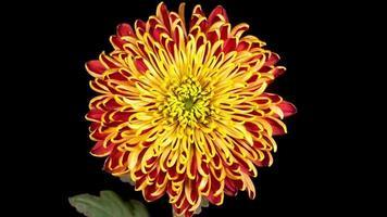 Hermosa apertura de flor de crisantemo rojo - amarillo