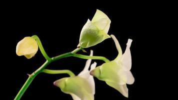 flor de dendrobium de orquídea blanca floreciente
