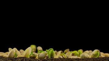 Sprouts germination newborn cress video