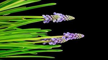 paarse druiven hyacint muscari bloemen bloeien video