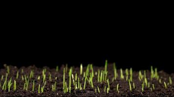 grama verde fresca crescendo