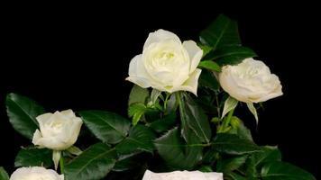 weiße Rosenblütenöffnung