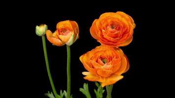 Zeitraffer der Öffnung der orangefarbenen Ranunculus asiaticus-Blume
