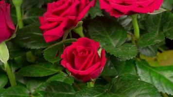 Zeitraffer der Öffnung der roten Rosenblüte
