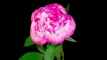 flor de peonía rosa floreciendo