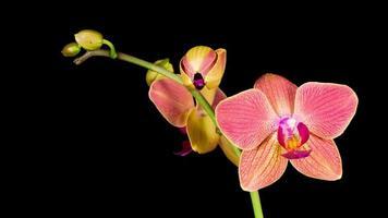 flor phalaenopsis de orquídea vermelha em flor video