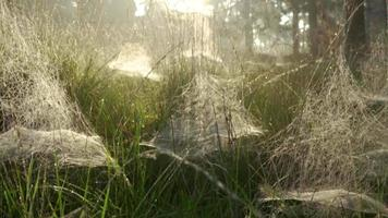 Spiderwebs scattered over tall grass on a early morning