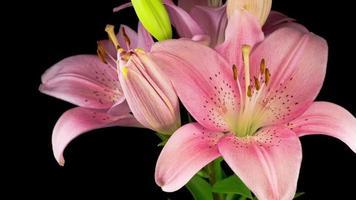 belle fleur de lys rose fleurit de façon spectaculaire