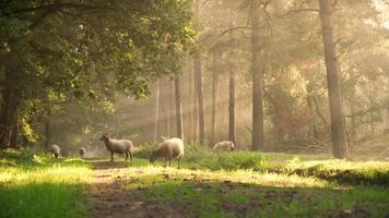 Sheep walking in a forest on a early morning