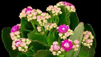 rosa Kalanchoe-Blumenöffnung