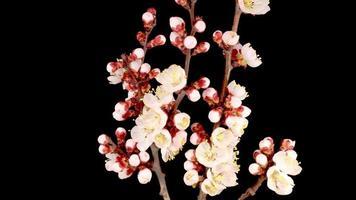 flores brancas desabrochando nos galhos de uma árvore de damasco video