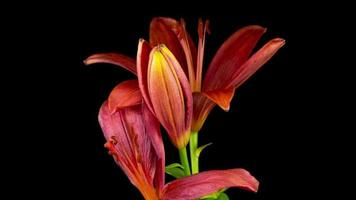 Time Lapse of blooming red Lily flower