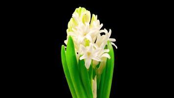 crescendo e abrindo flor de jacinto branco em fundo preto