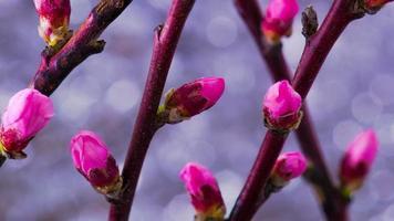 flores de damasco em flor de galho de damasco video