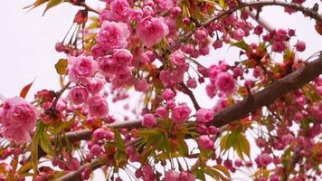 flor de sakura com flores rosa video