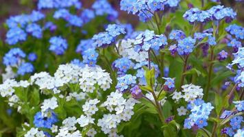 flores azules no me olvides en el jardín video