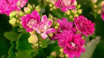 lapso de tiempo de apertura flor rosa kalanchoe