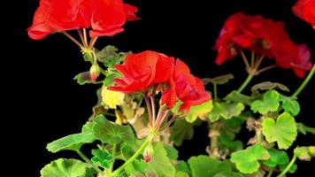 Hermoso lapso de tiempo de geranio rojo floreciente