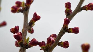 manhã ensolarada de primavera em um jardim de cerejeiras video