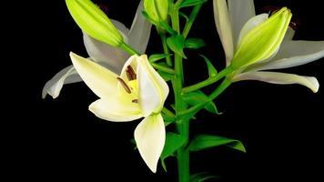 lapso de tempo de lindas flores de lírio branco