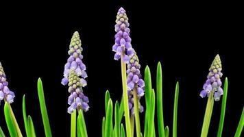 lila Traubenhyazinthe Muscari Blumen blühen