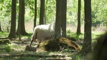 A sheep walks between the trees into the forest