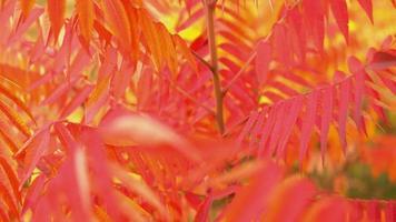 folhas vermelhas em galho em parque outonal