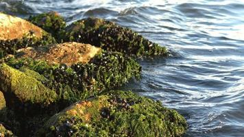 mexilhões em algas em rochas marinhas video