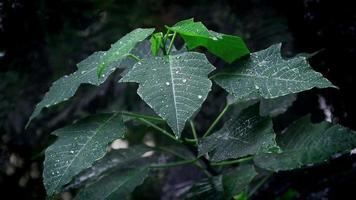 Weihnachtssternblätter mit Regentropfen