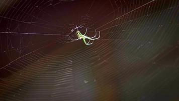 pequeña araña verde